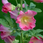 stock-rose-555472_960_720