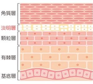 alt=''ヤクケンバイオリンク,皮膚表面の断面図''