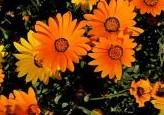 alt=''ディモルフォセカ,花言葉,元気,花の写真''