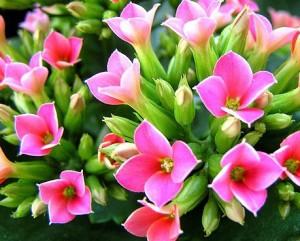 alt=''カランコエ,花,写真,花言葉,幸福を告げる,誕生花,12月11日''
