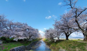 alt=''京都亀岡市,七谷川,桜満開''